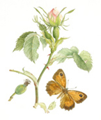 Dog Rose and Gatekeeper Butterfly
