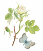 White Dog Rose and Chalkhill Butterfly
