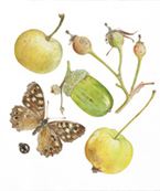 Acorn and Speckled  Wood Butterfly