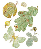 Oak Leaf and Large Emerald Moth